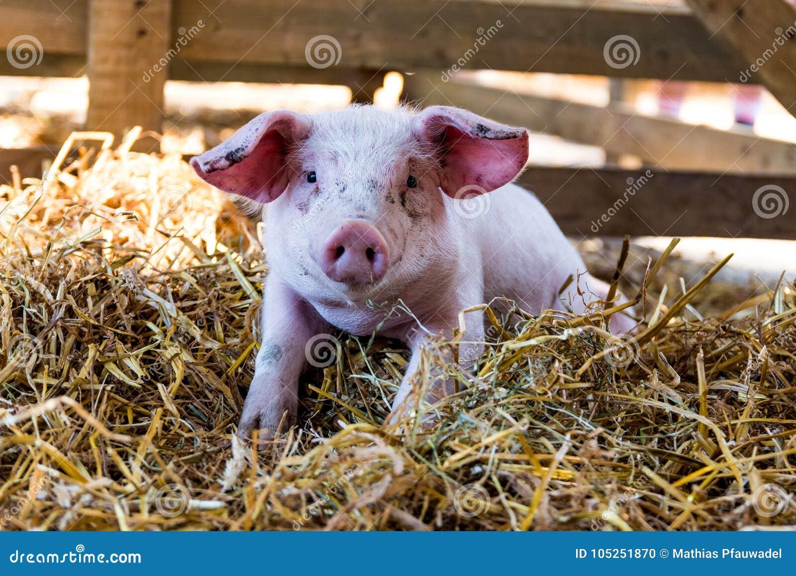Portret Śliczna dziecko świnia