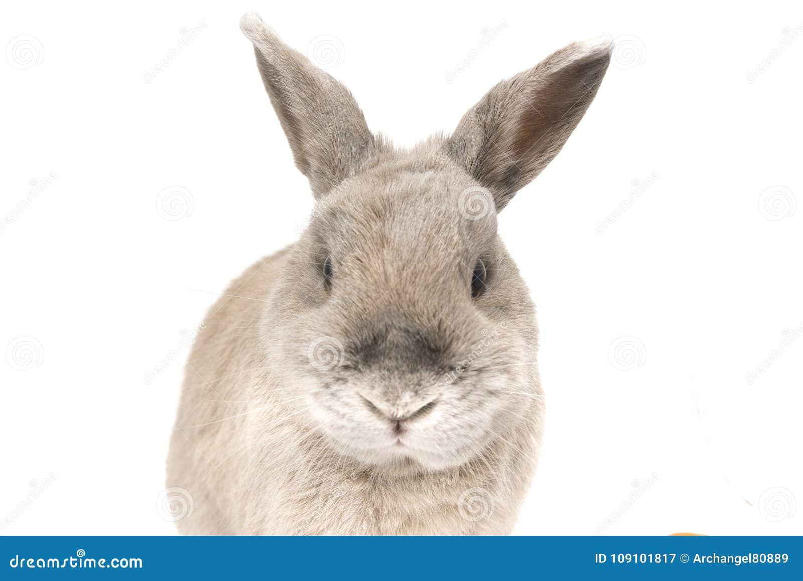 Portret śliczna królik szarość z splayed ucho odizolowywającymi na białym tle