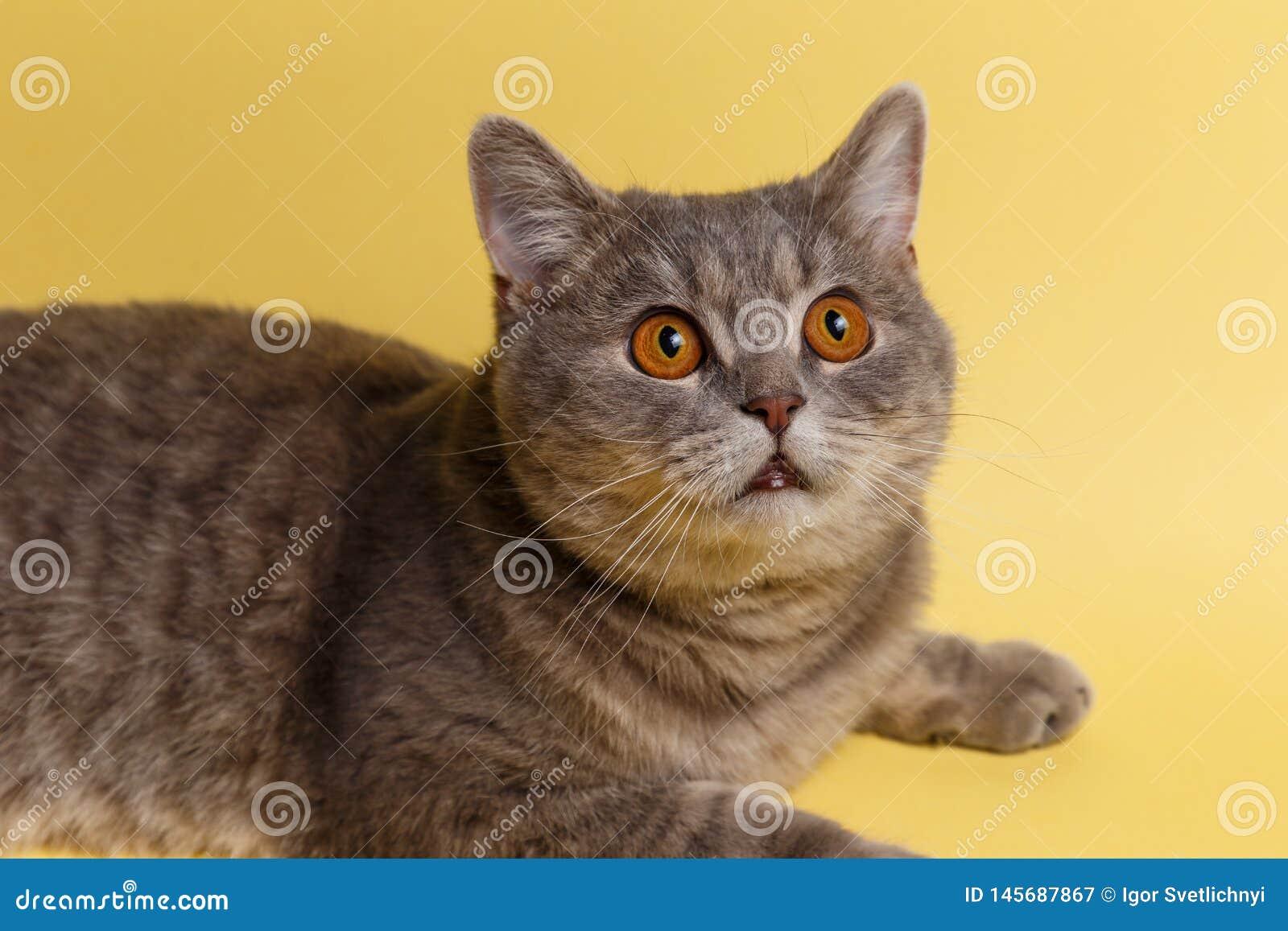 Portret ślicznego kota szkocki prosty