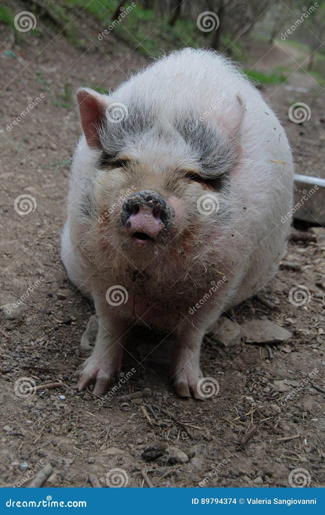 Portret świnia