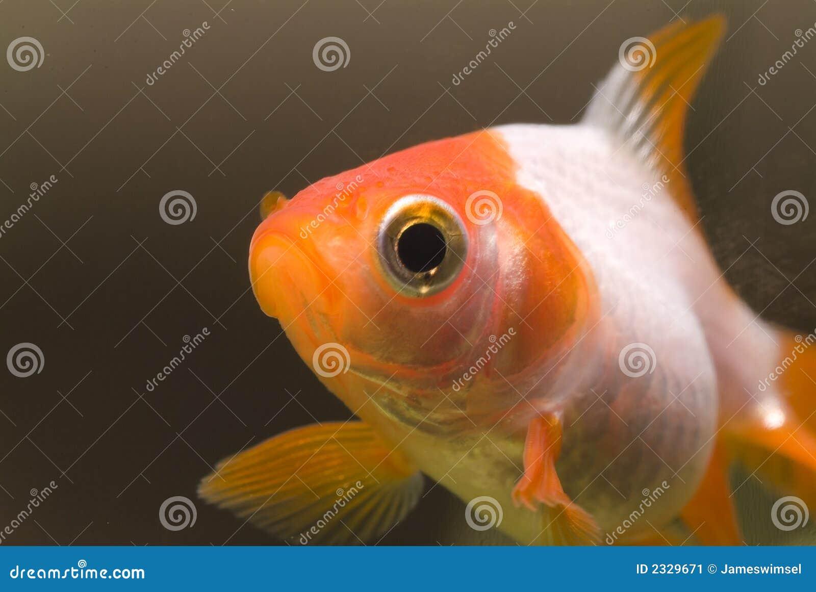 Portret 02 van de goudvis