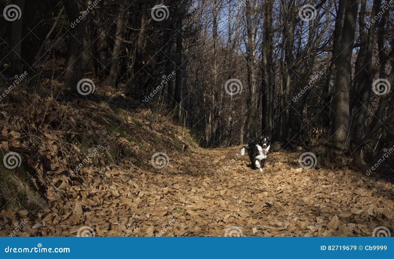 Portret Border collie szczeniak w drewnach
