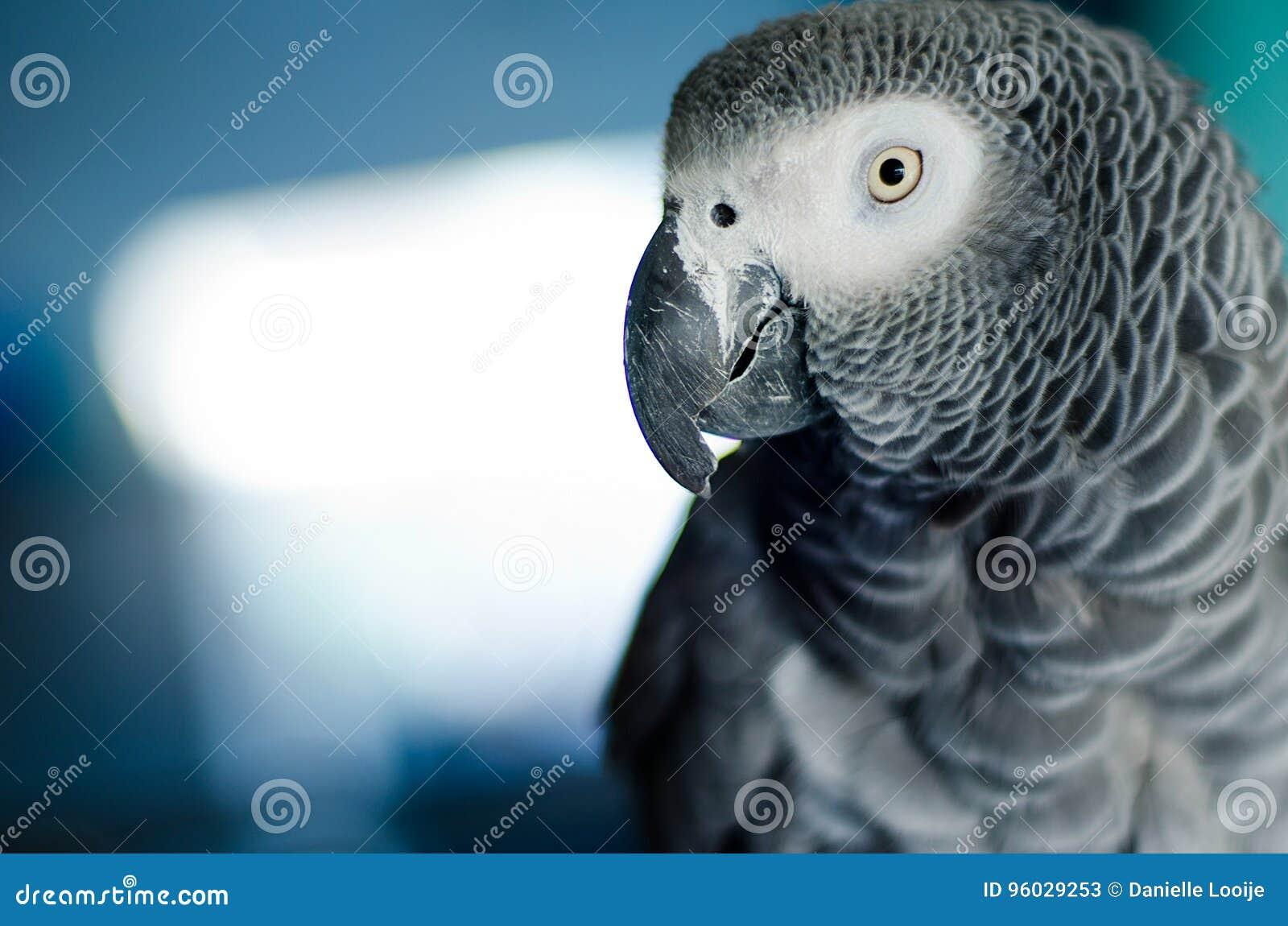 Portret ciekawa afrykańska popielata papuga