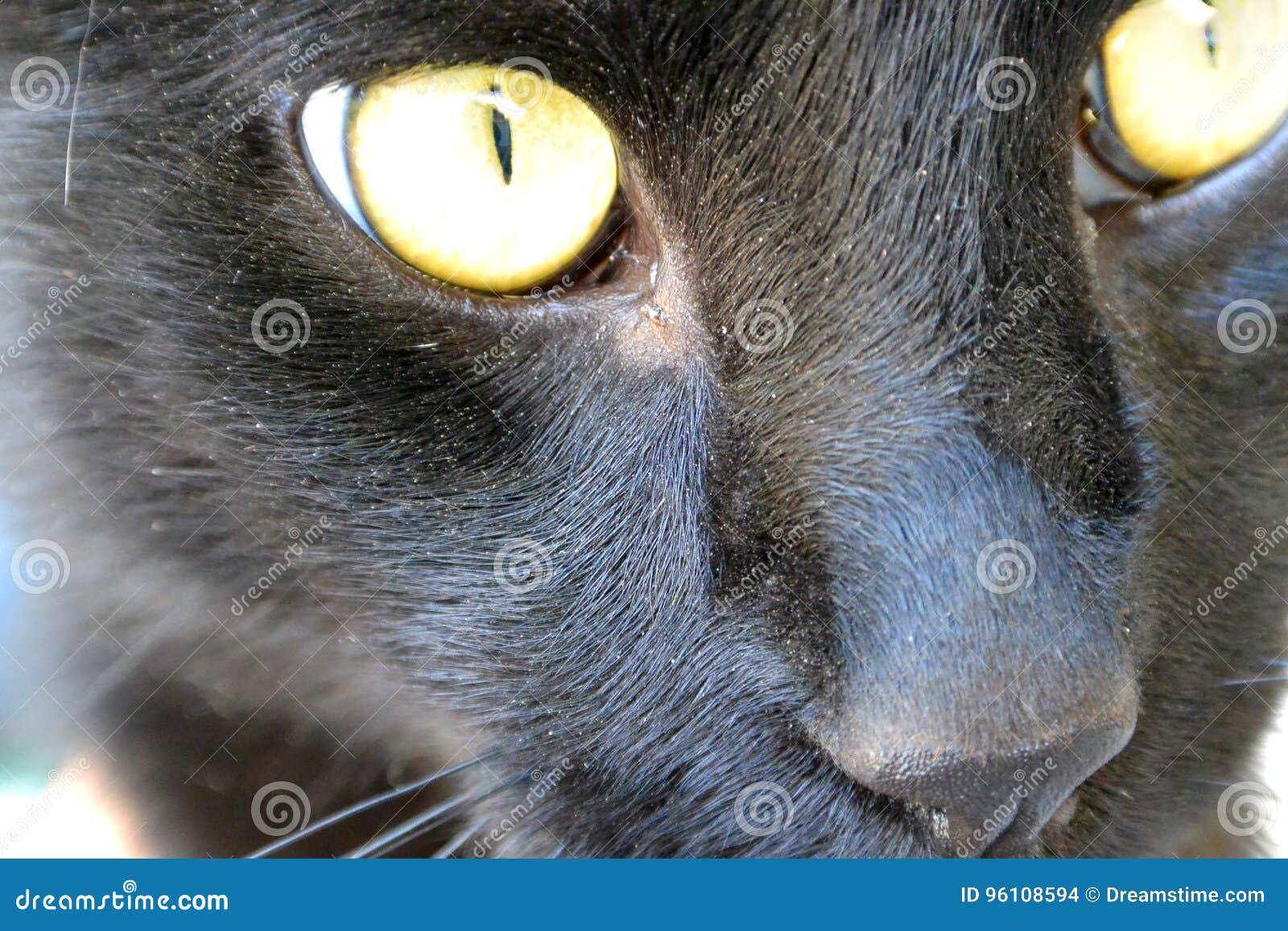 Portret czarny kot z żółtymi oczami