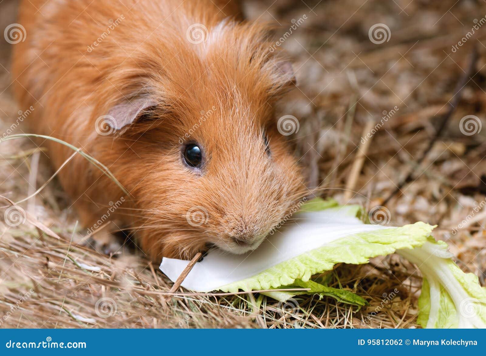 Portret czerwony królik doświadczalny