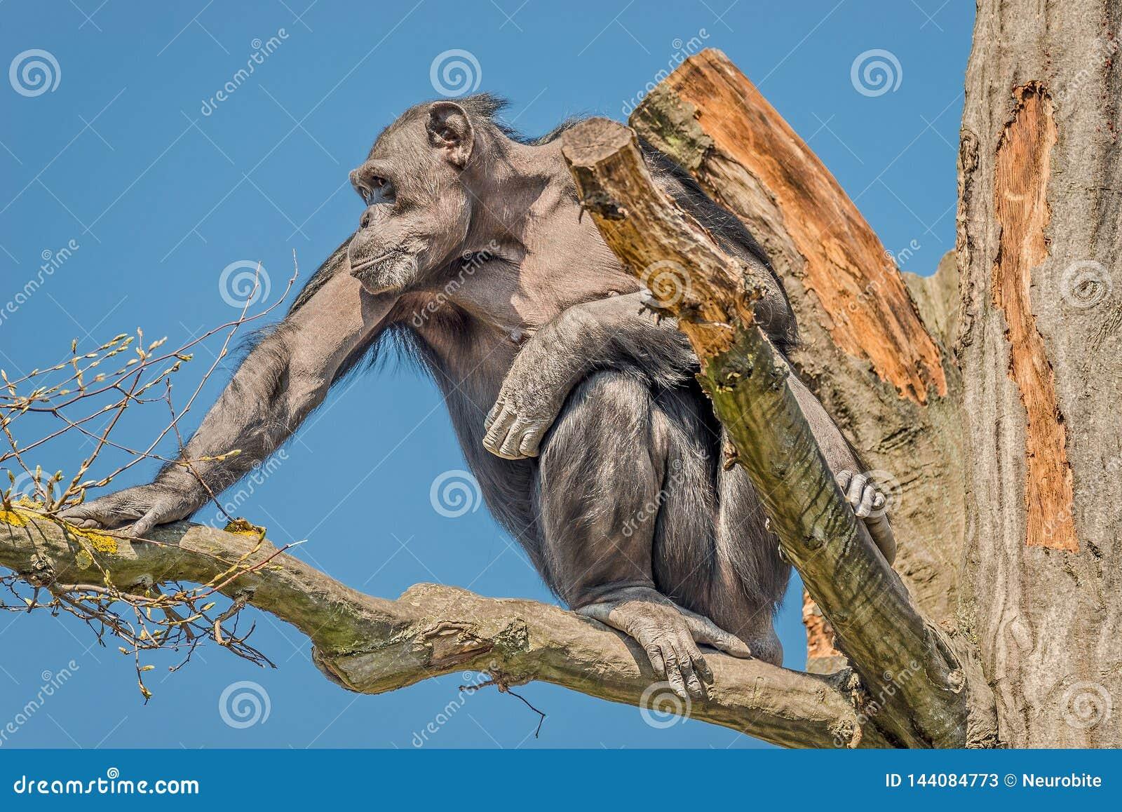 Portret czujny dorosły szympansa obsiadanie na drzewie przy niebieskim niebem