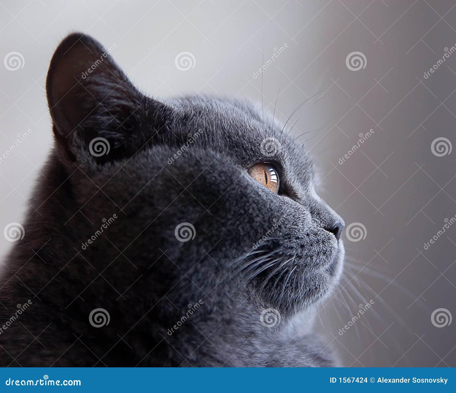 Portret de chat bleu britannique