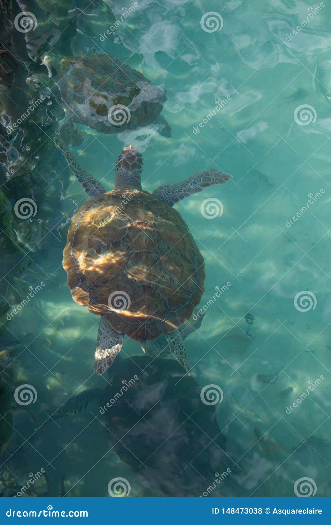 Portret die van hawksbill overzeese schildpad hoogste mening, enkel onder de oppervlakte zwemmen