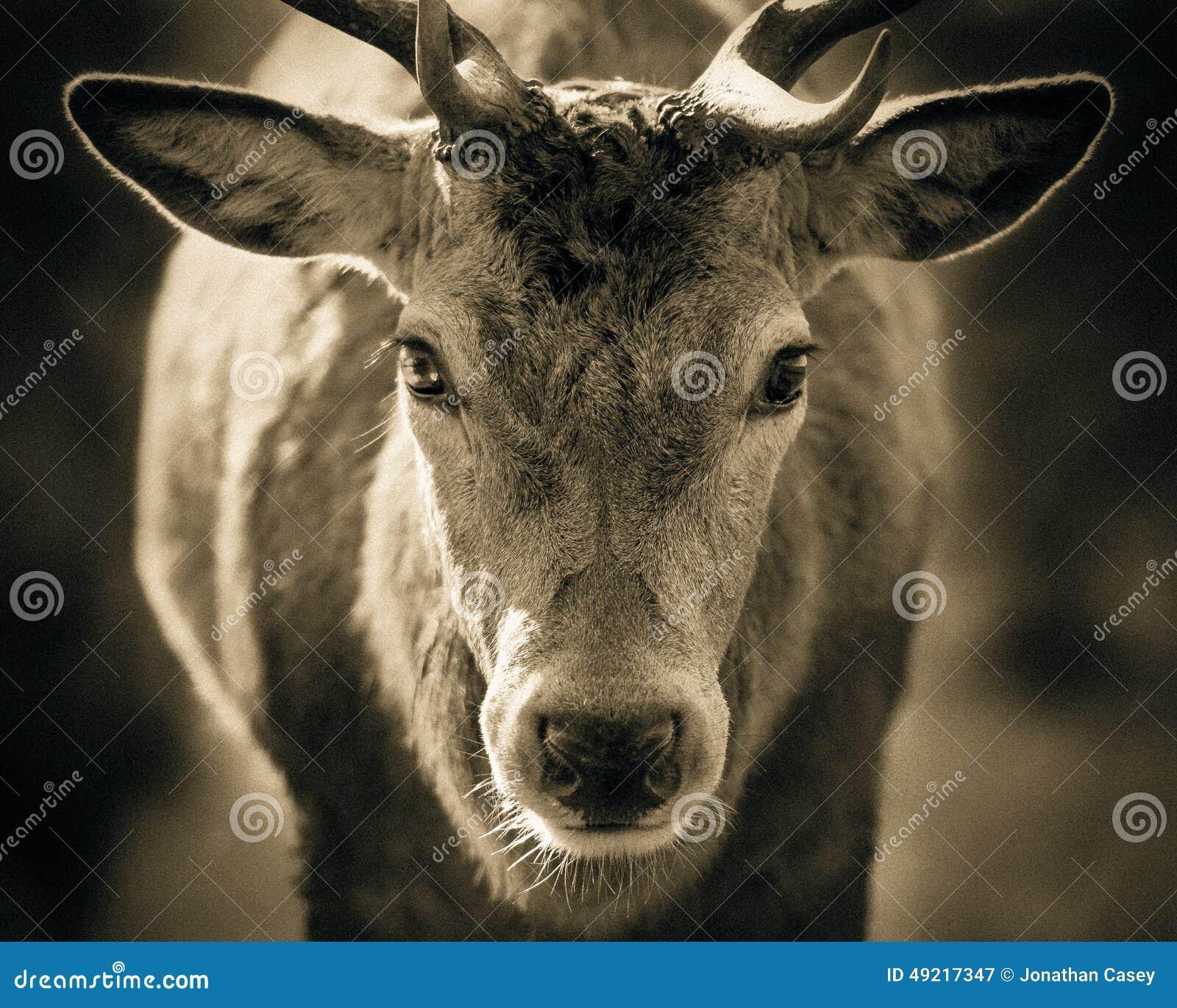 Portret dorosły czerwonego rogacza jeleń