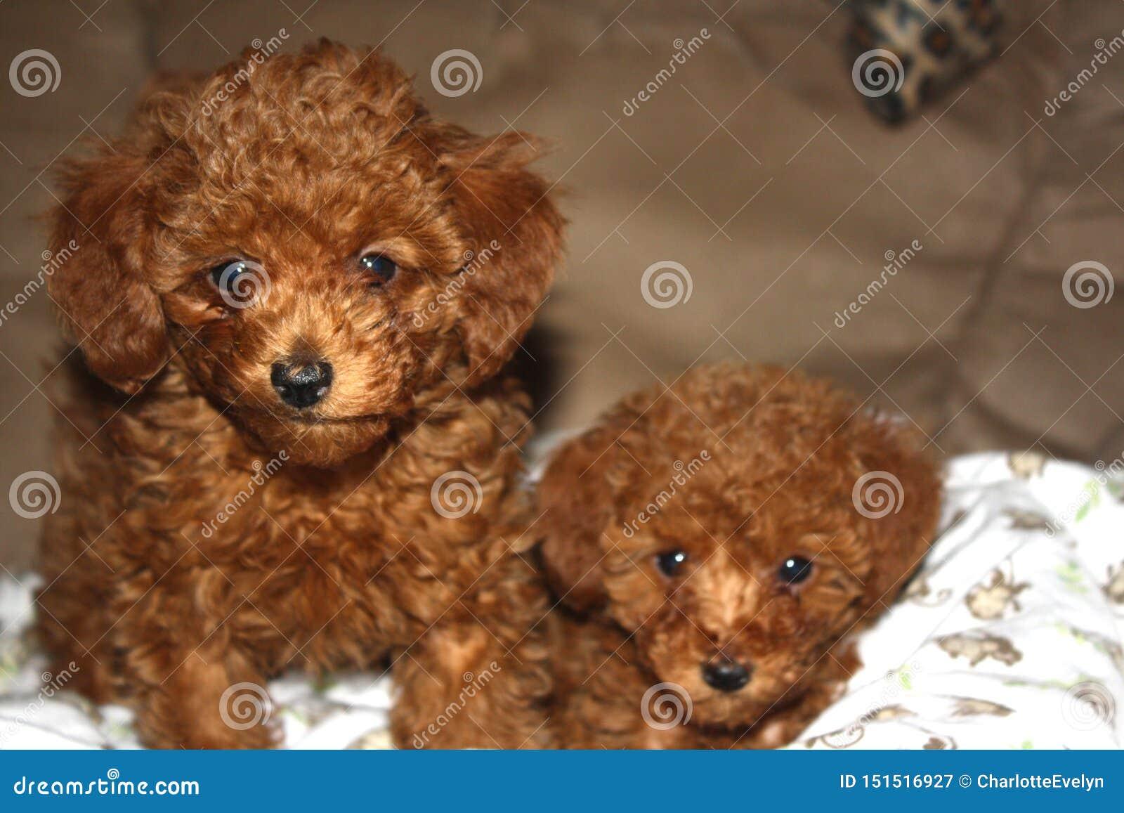 Portret dwa czerwonego zabawkarskiego pudla szczeniaka