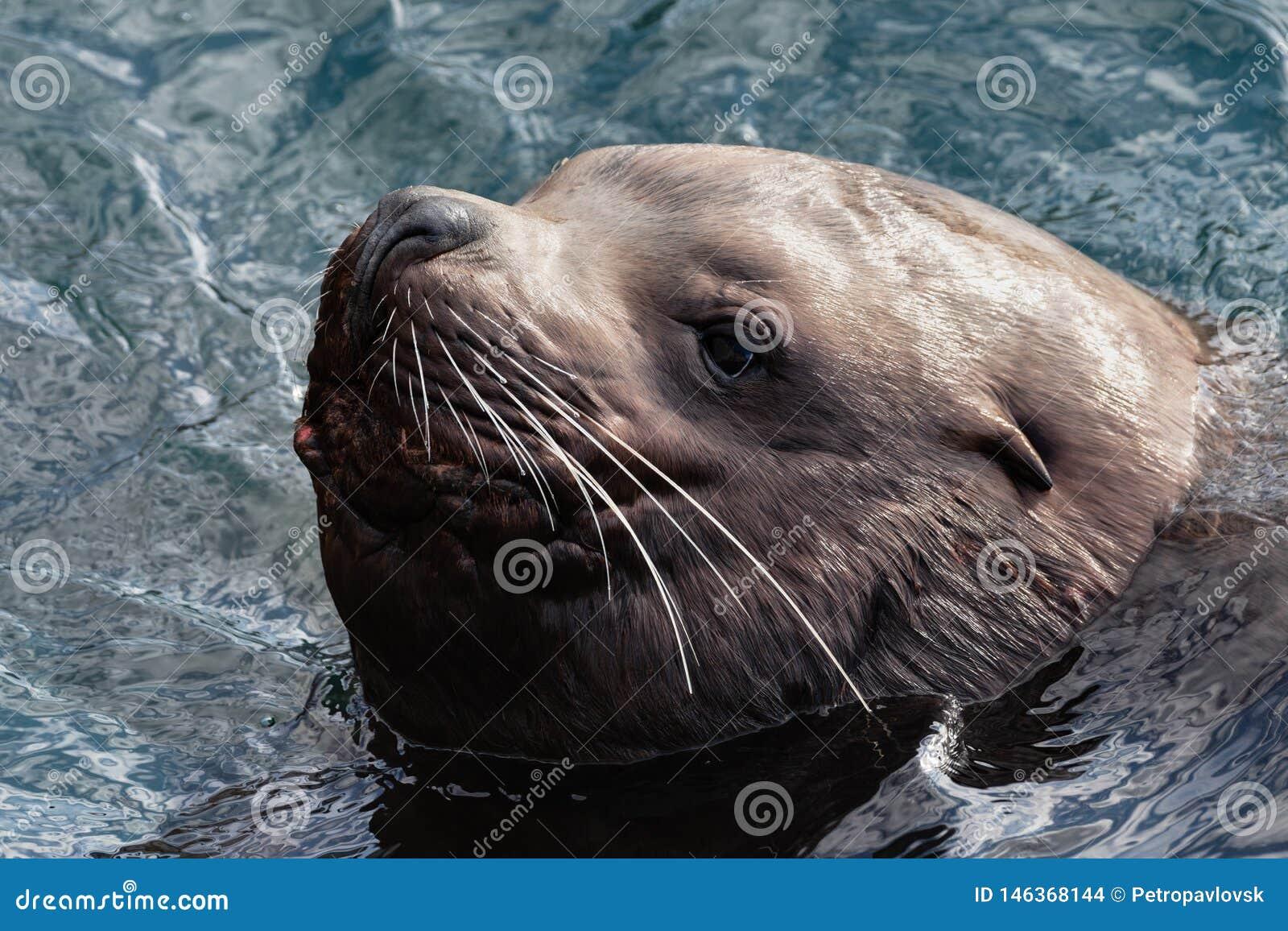 Portret dzikiego dennego ssaka zwierzęcy Północny Denny lew pływa w zimnych fal oceanie spokojnym