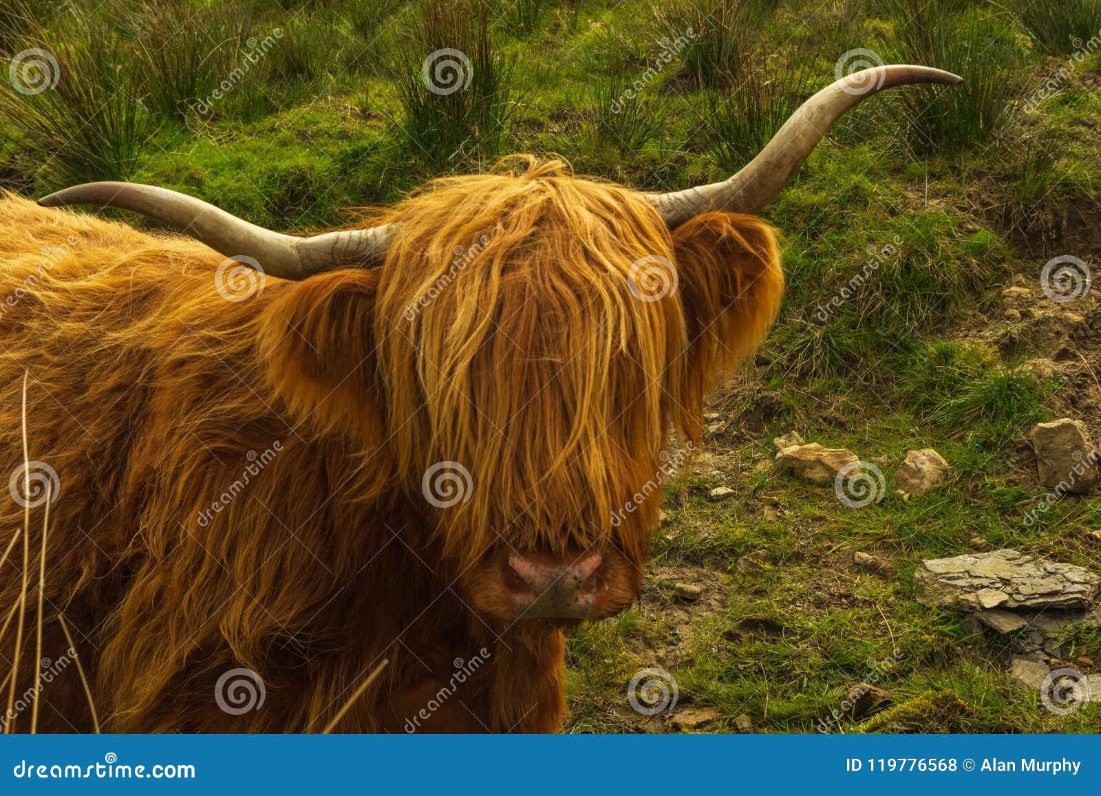 Portret Górska krowa