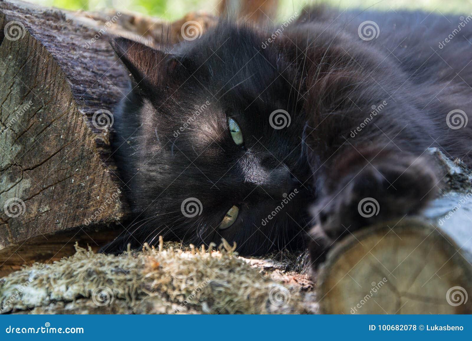 Portret gęsty długie włosy czarny Chantilly Tiffany kot relaksuje w ogródzie na drewnianych belach Zamyka up gruby tomcat