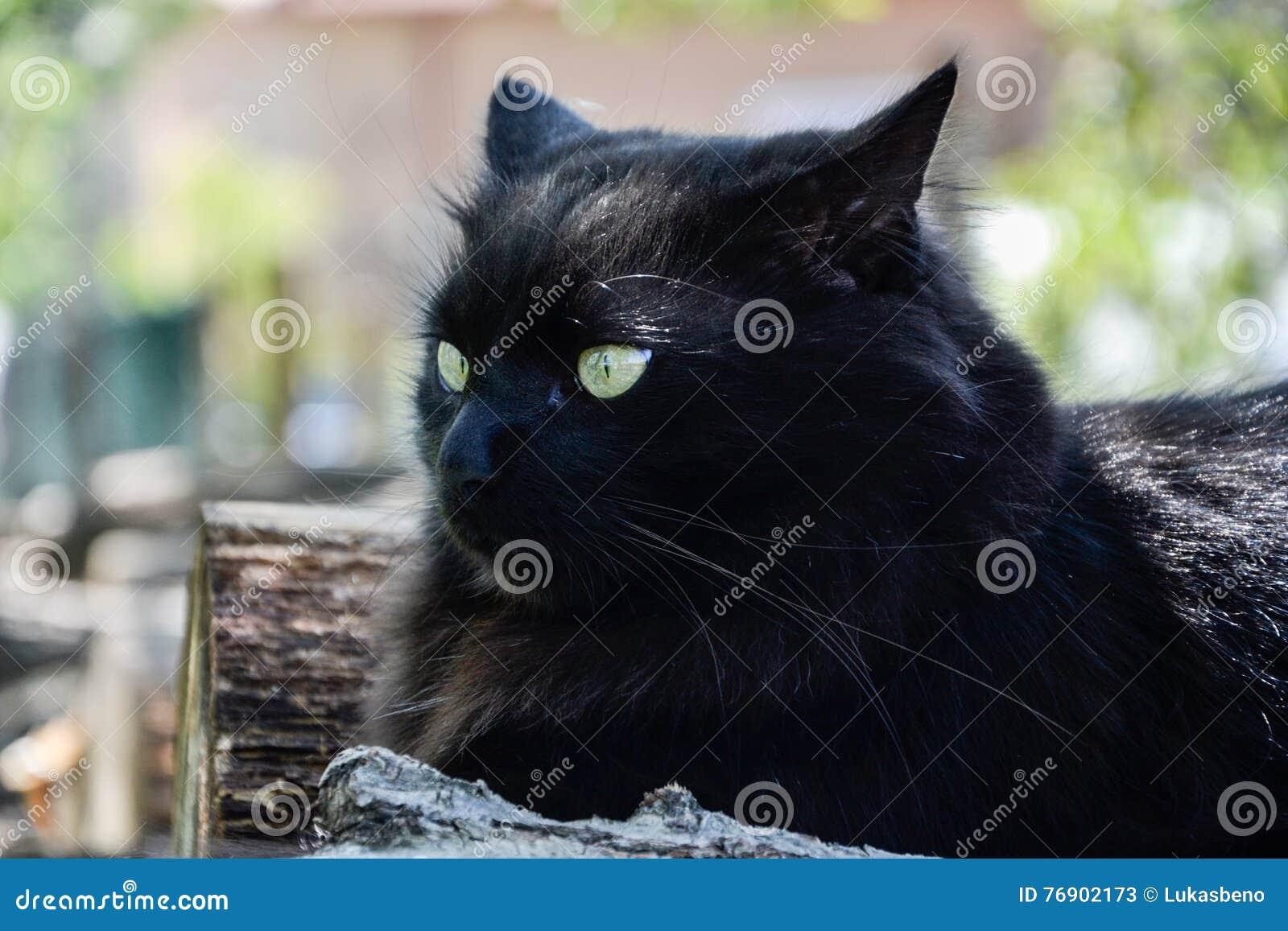 Portret gęsty długie włosy czarny Chantilly Tiffany kot relaksuje w ogródzie Zbliżenie gruby tomcat z stunning dużych zielonych o