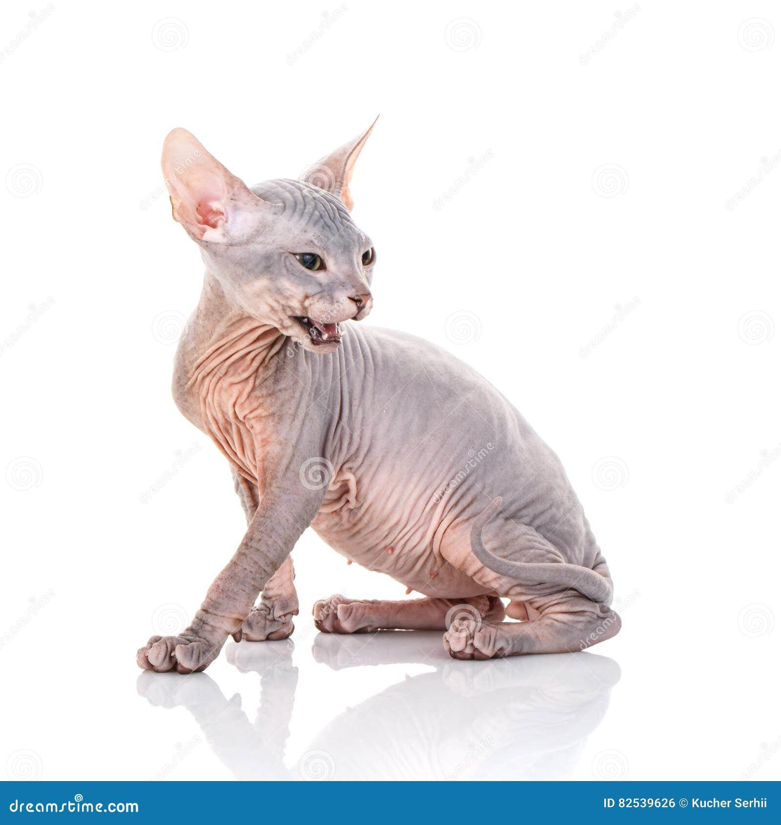 Portret Gderliwy Sphynx Kot Z Otwartym Usta Zdjęcie Stock Obraz