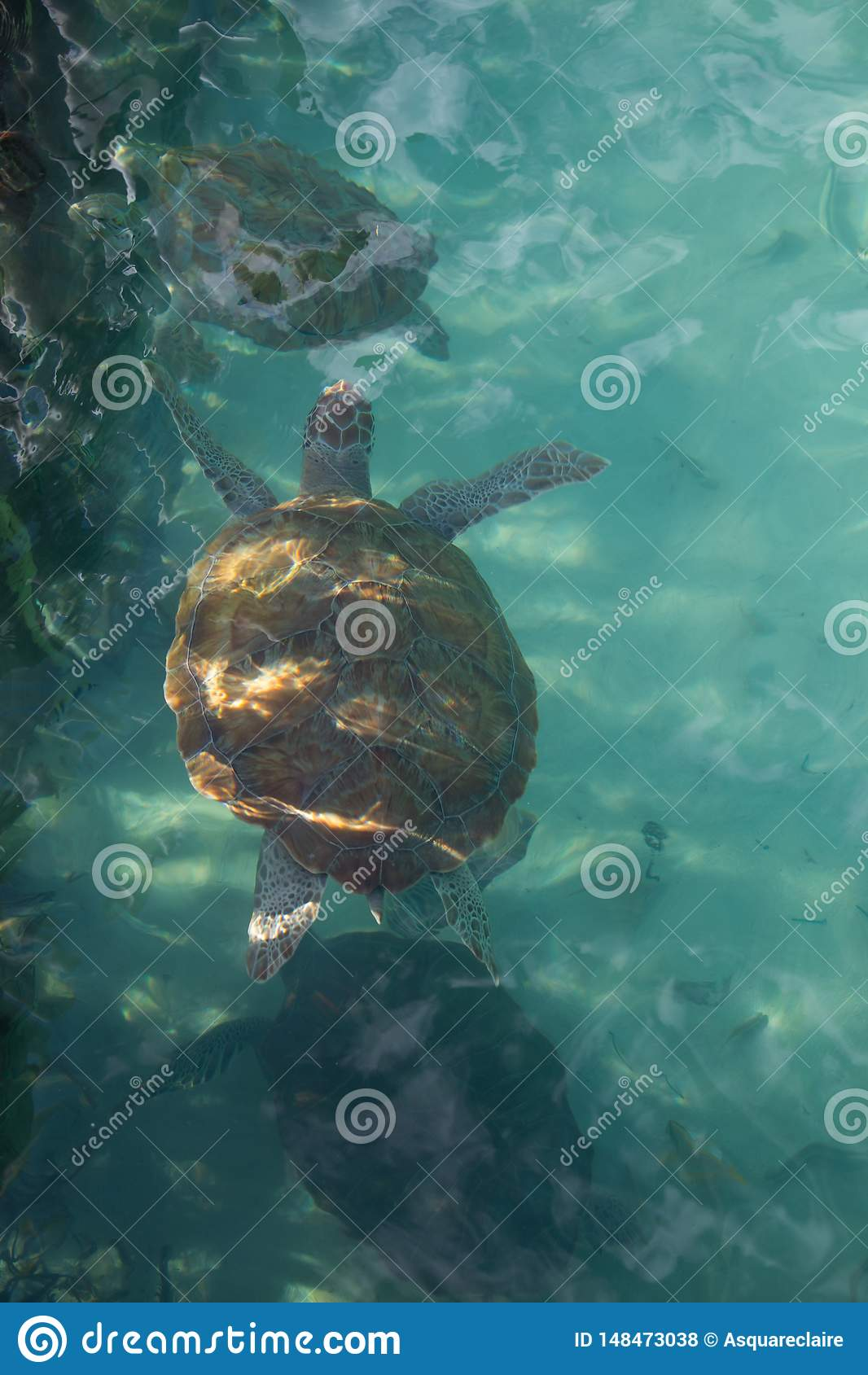 Portret hawksbill dennego tortoise odg?rny widok, p?ywa w?a?nie pod powierzchni?