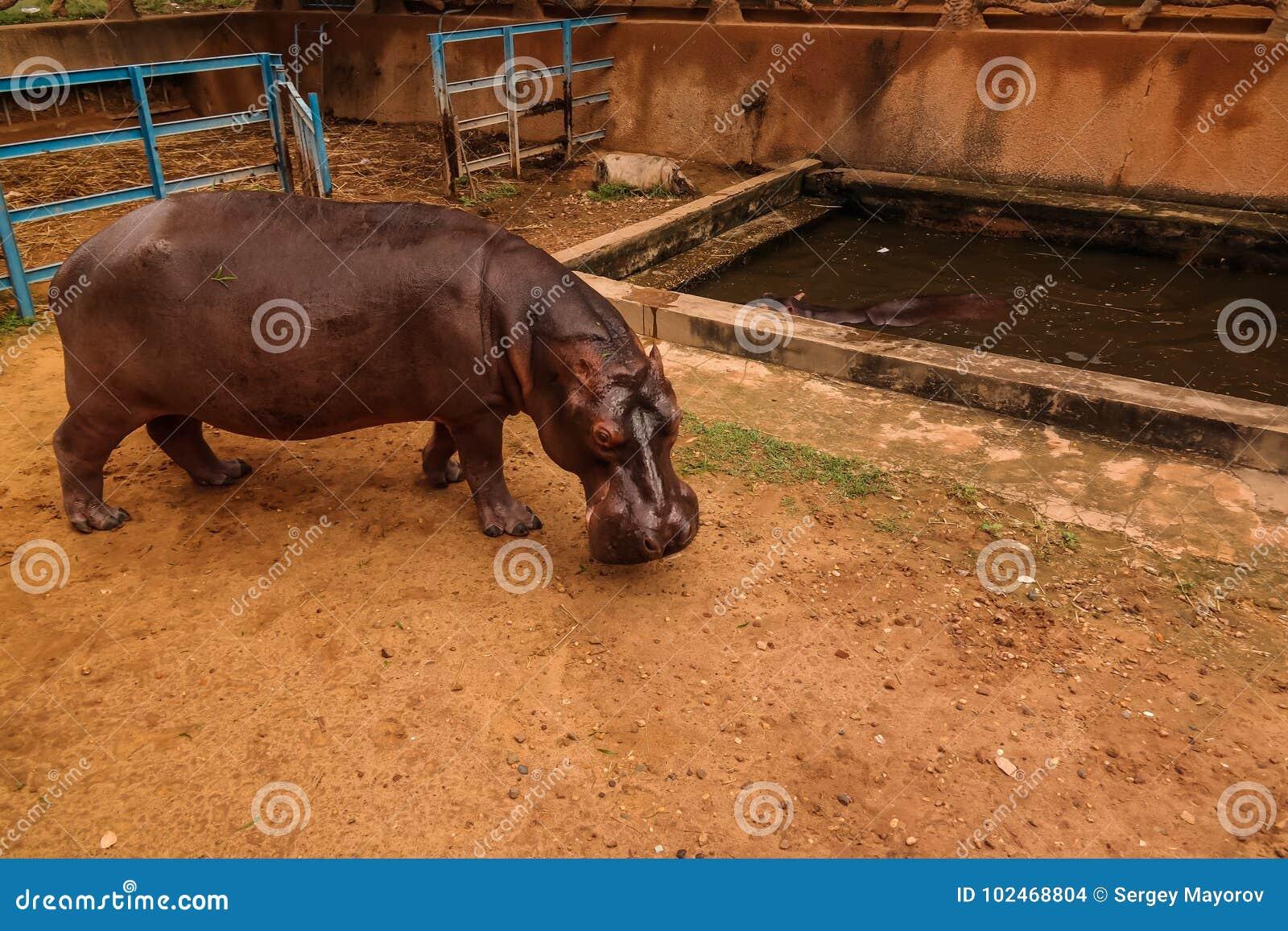 Portret hipopotam w Niamey przy Niger