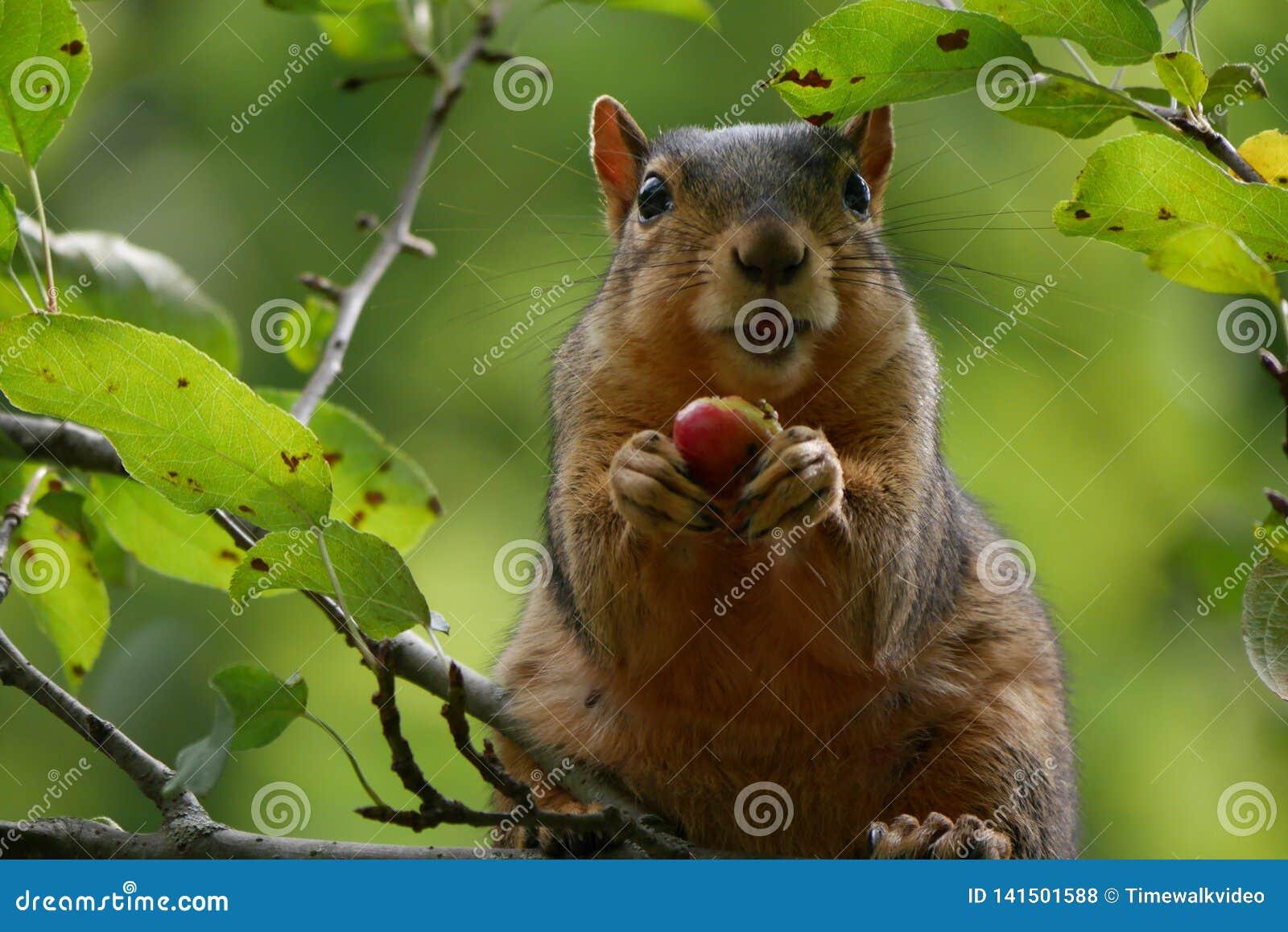 Portret je jagody w Treetop śmieszna wiewiórka