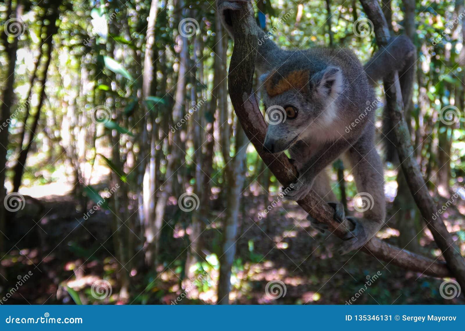 Portret koronowany lemur przy drzewem, Atsinanana region, Madagascar