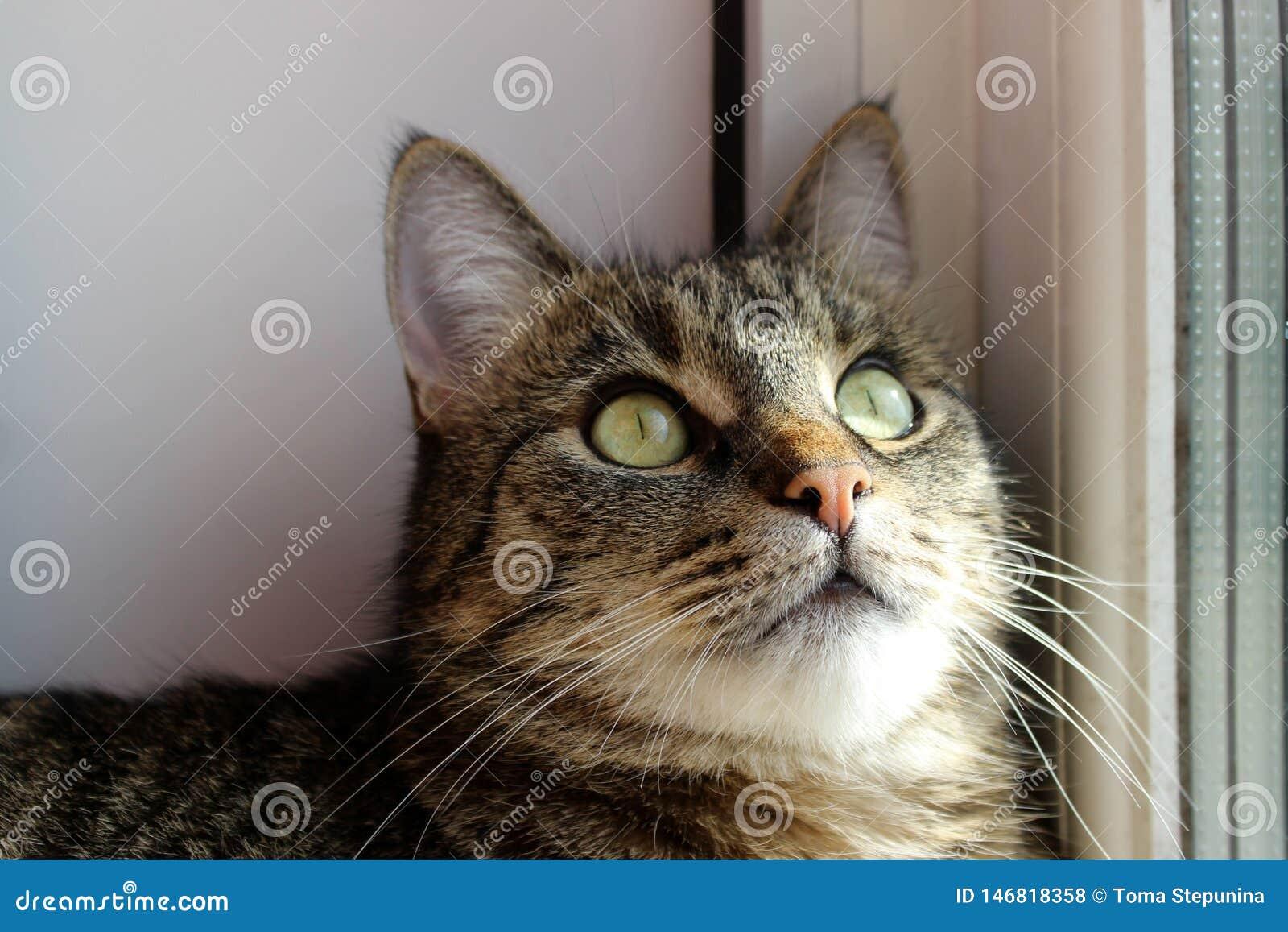 Portret kot, zamyka up Zwierz?ta domowe, zwierz?ta dni, zwierz?cia poj?cie TARGET507_0_ przy kamer? Tabby kot