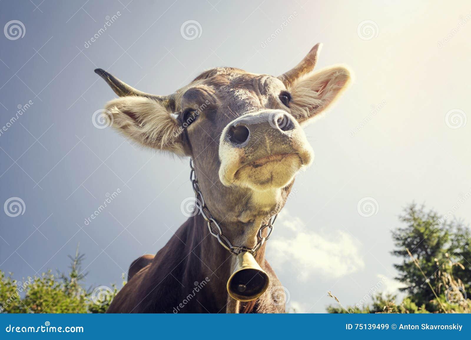 Portret krowa z dzwonem