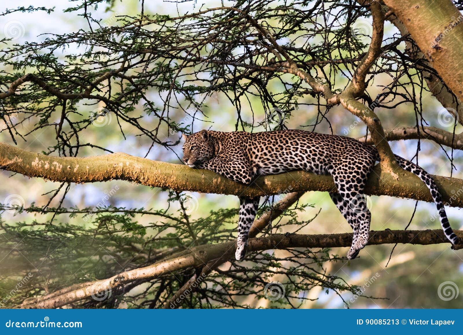 Portret lampart odpoczywa na drzewie Nakuru, Afryka