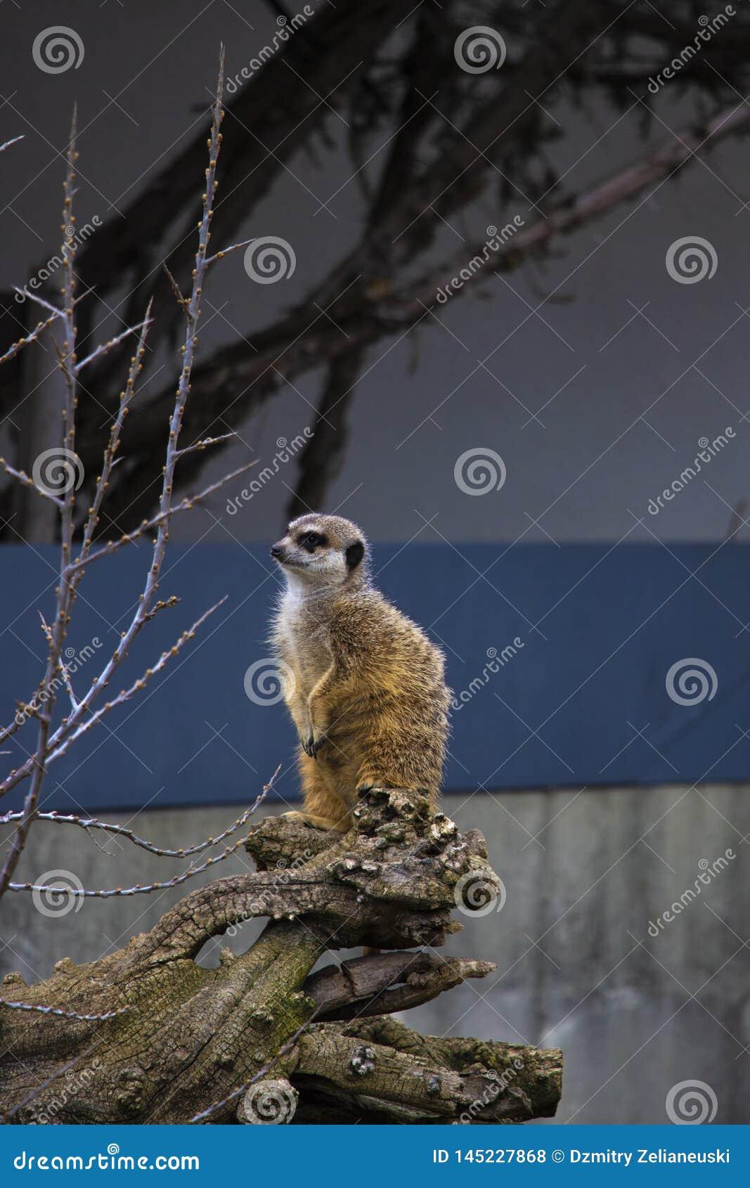 Portret Meerkat Suricata, afrykański rodzimy zwierzę, mały carnivore należy mangusty rodzina