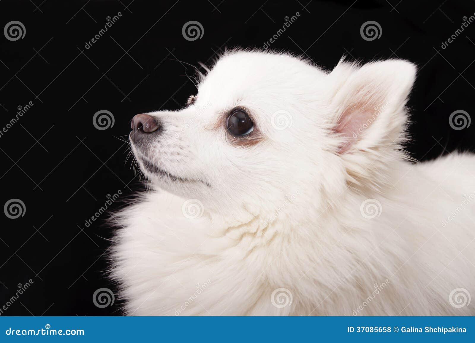 Download Portret Niemiecki Spitz Biel Zdjęcie Stock - Obraz złożonej z strzał, pies: 37085658