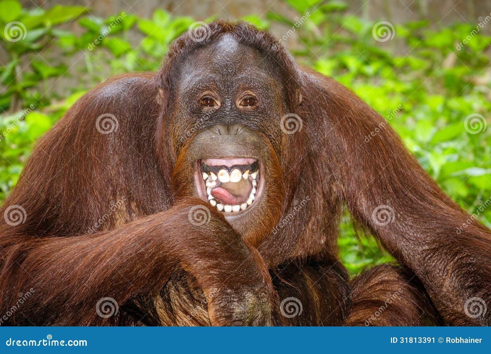 Portret Orangutan śmiać się (Pongo pygmaeus)