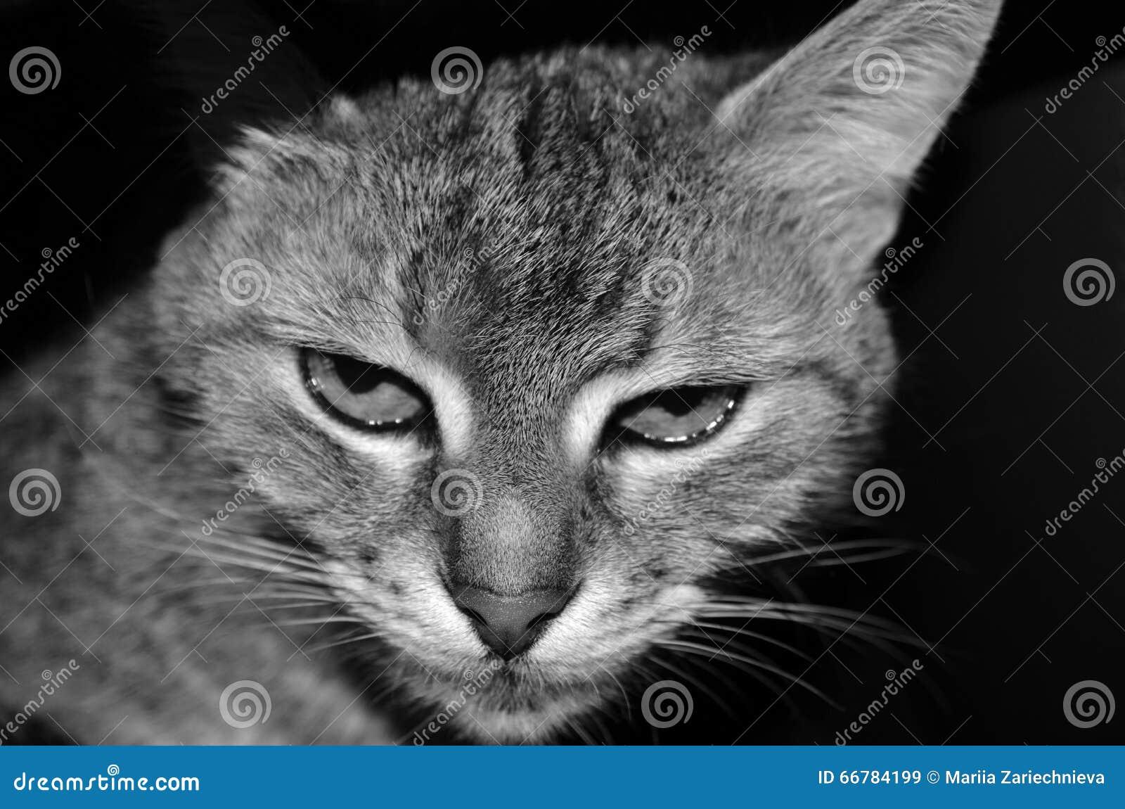 Portret pasiasty domowy kot