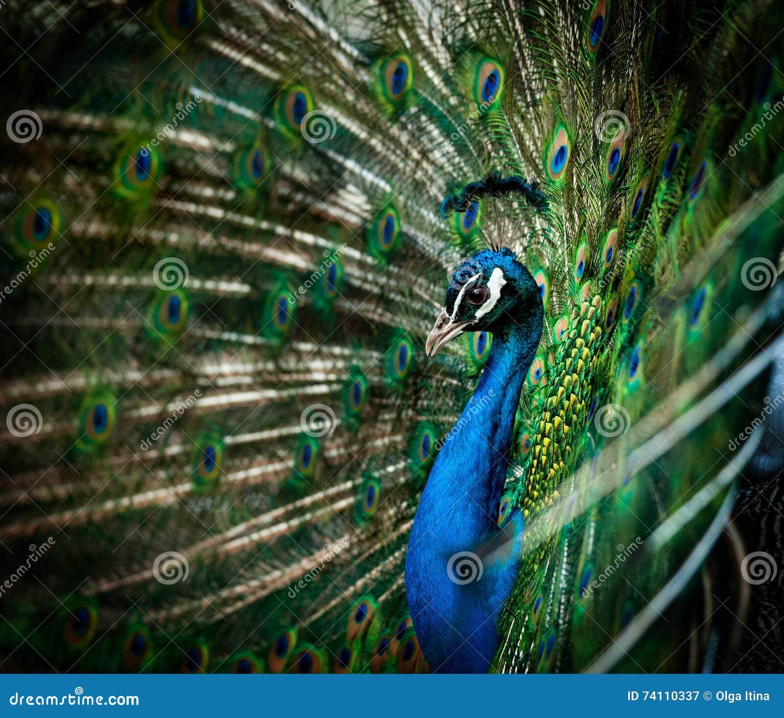 Portret pawi
