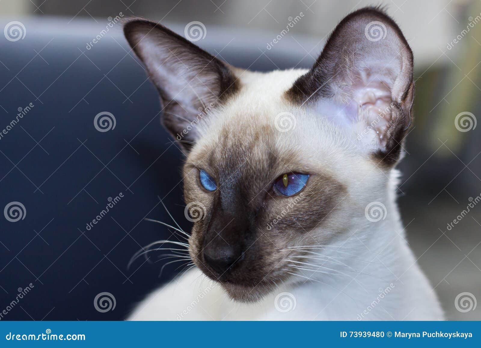 Portret pięknego niebieskie oko punktu orientalny kot