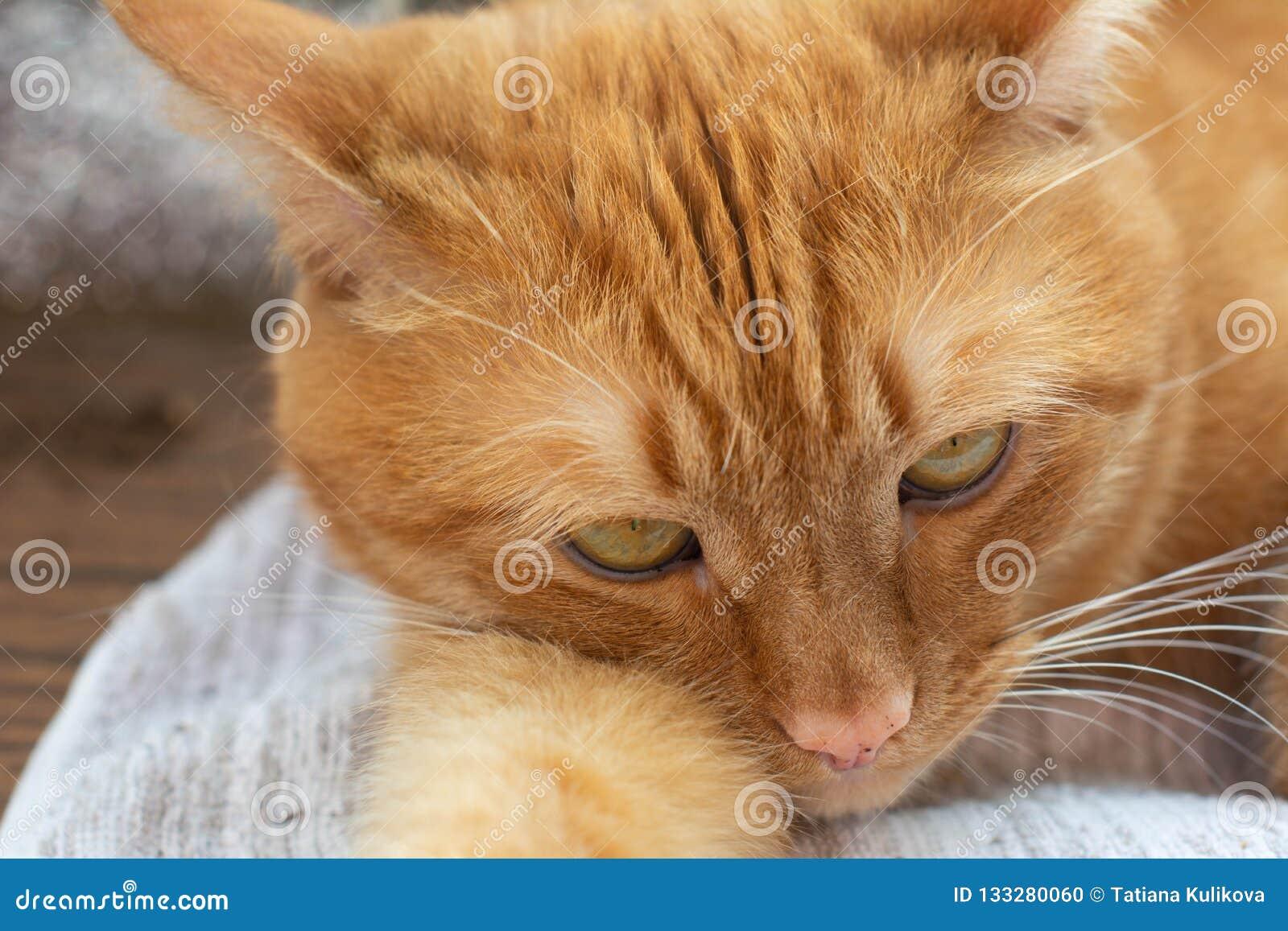 Portret piękni metis czerwony kot, zbliżenia lying on the beach