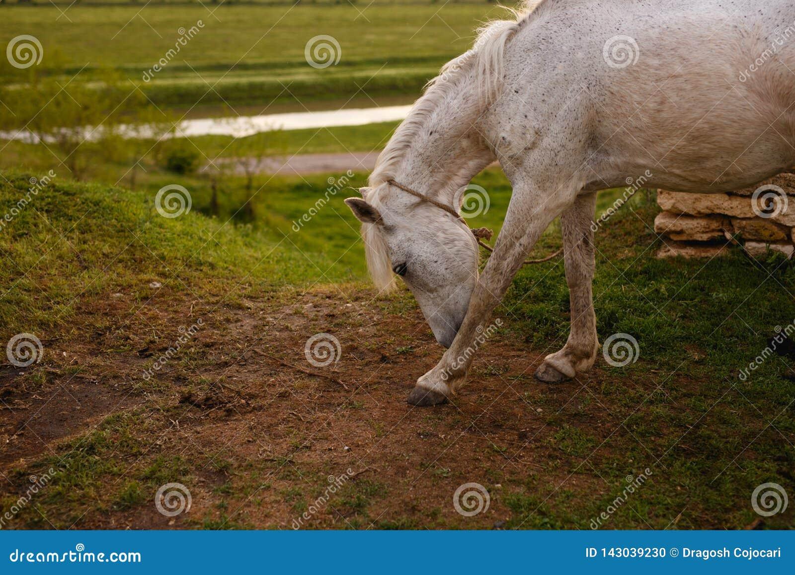 Portret piękny biały koń, outside, na zielonym krajobrazowym tle