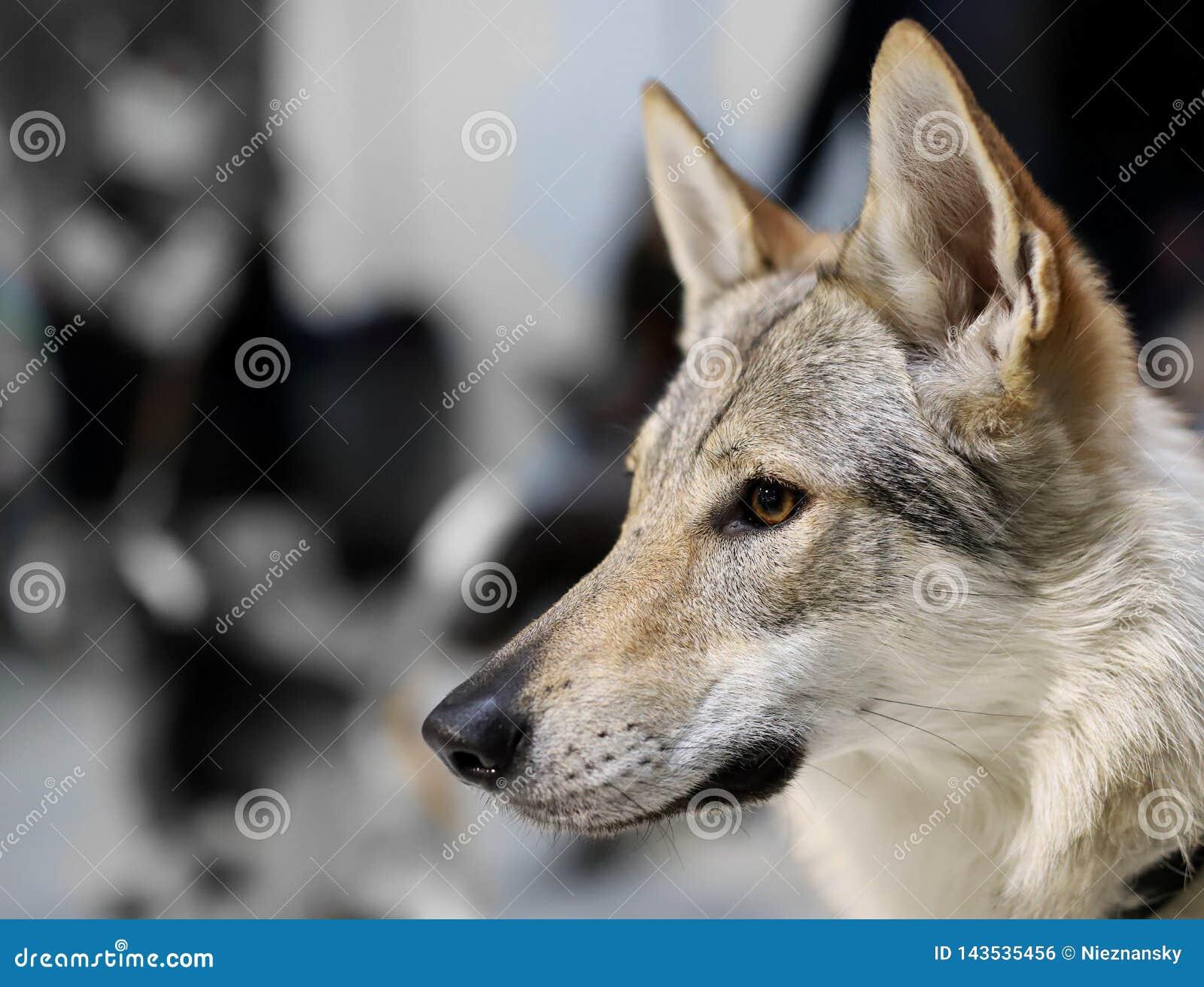 Portret piękny thoroughbred pies