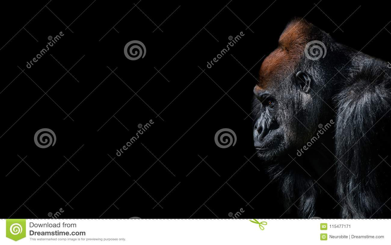Portret potężny alfa samiec Afrykański goryl przy strażnikiem