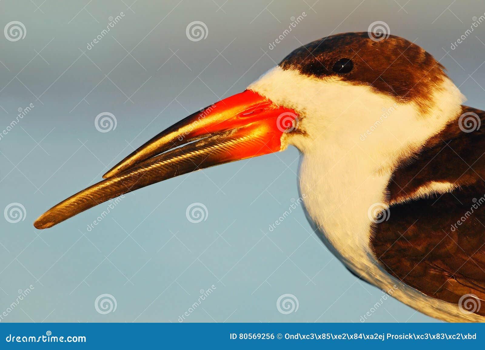 Portret ptak z dużym rachunkiem Czarny Cedzakowy, Rynchops Niger, piękny tern w wodzie Czerń Cedzakowy w Floryda wybrzeżu, USA