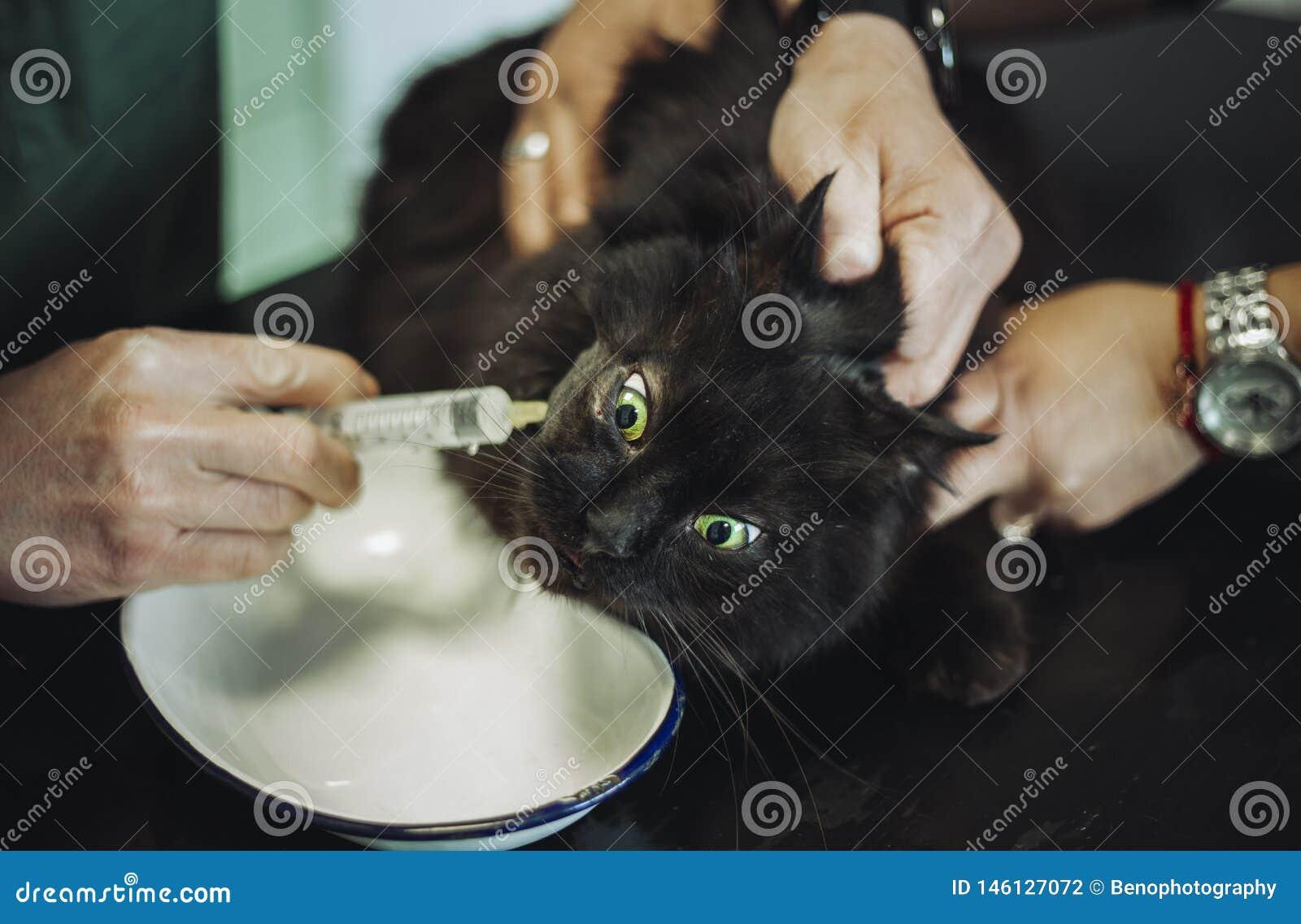 Portret purebred czarny Chantilly Tiffany kot w weterynaryjnej karetce z weterynarzem Ciemny tomcat z urazem na głowy i oka dosta