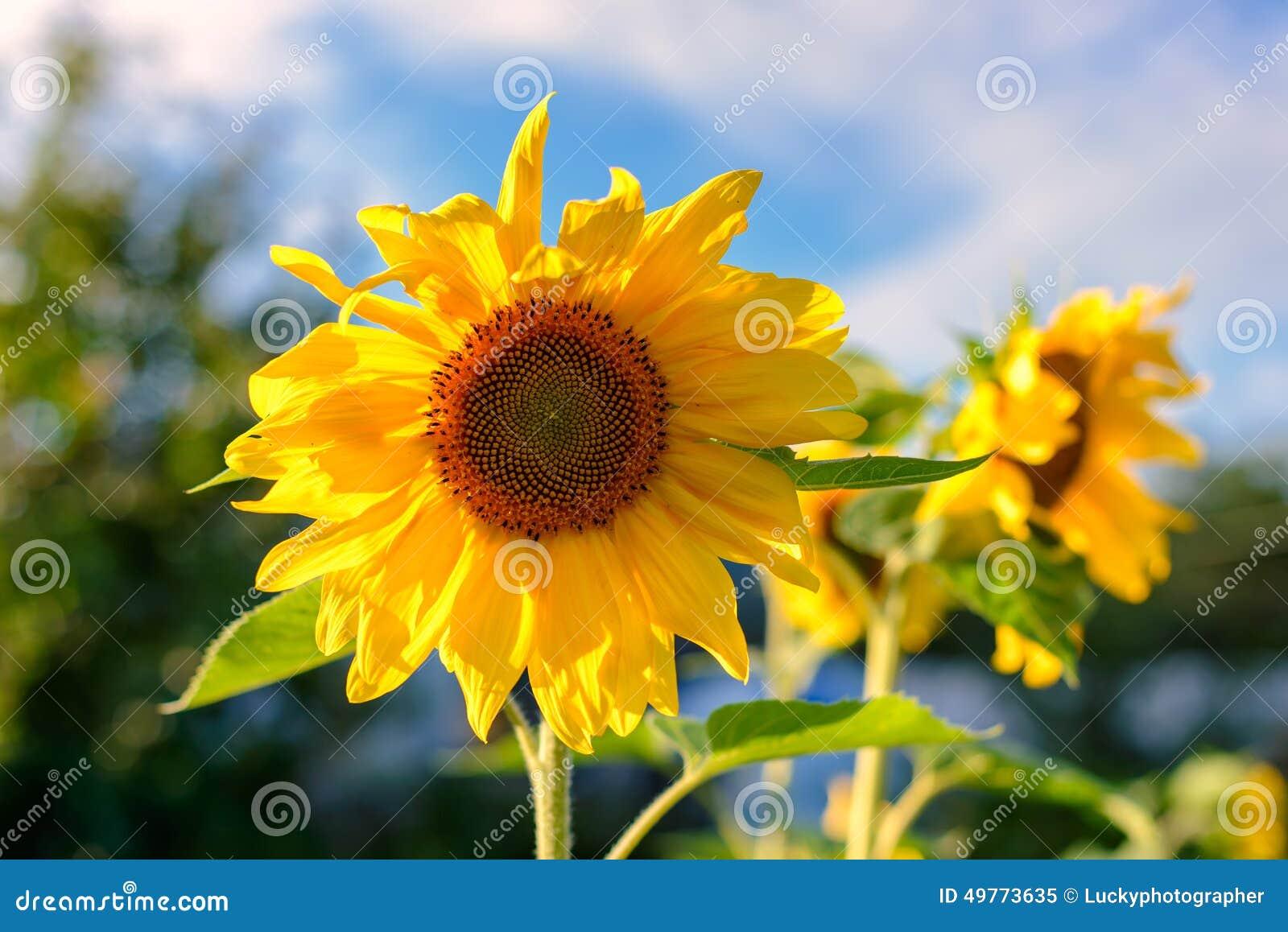 Portret słonecznik w polu