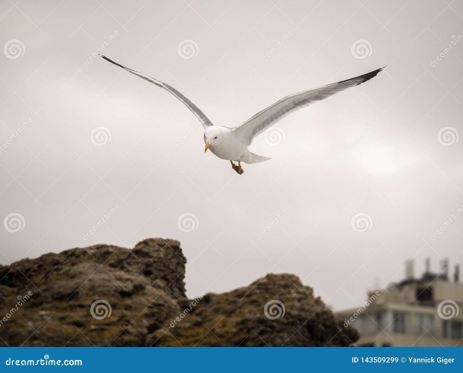 Portret seagull patrzeć w kierunku kamery i latanie