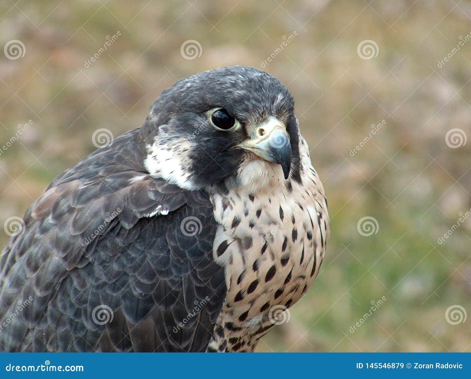 Portret sokoła wędrownego jastrząbka Falco peregrinus