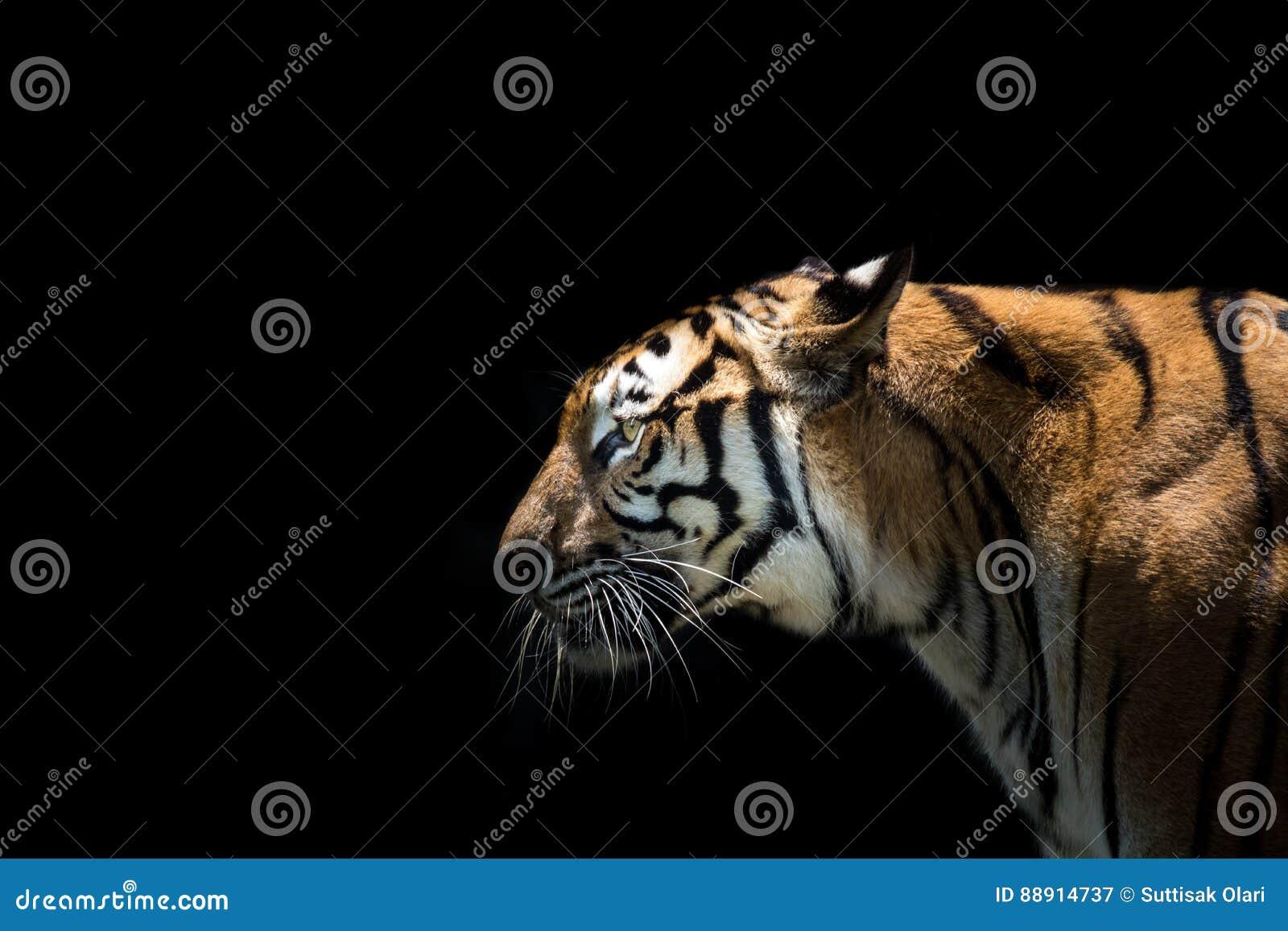 Portret tygrysi ostrzeżenie i gapić się przy kamerą