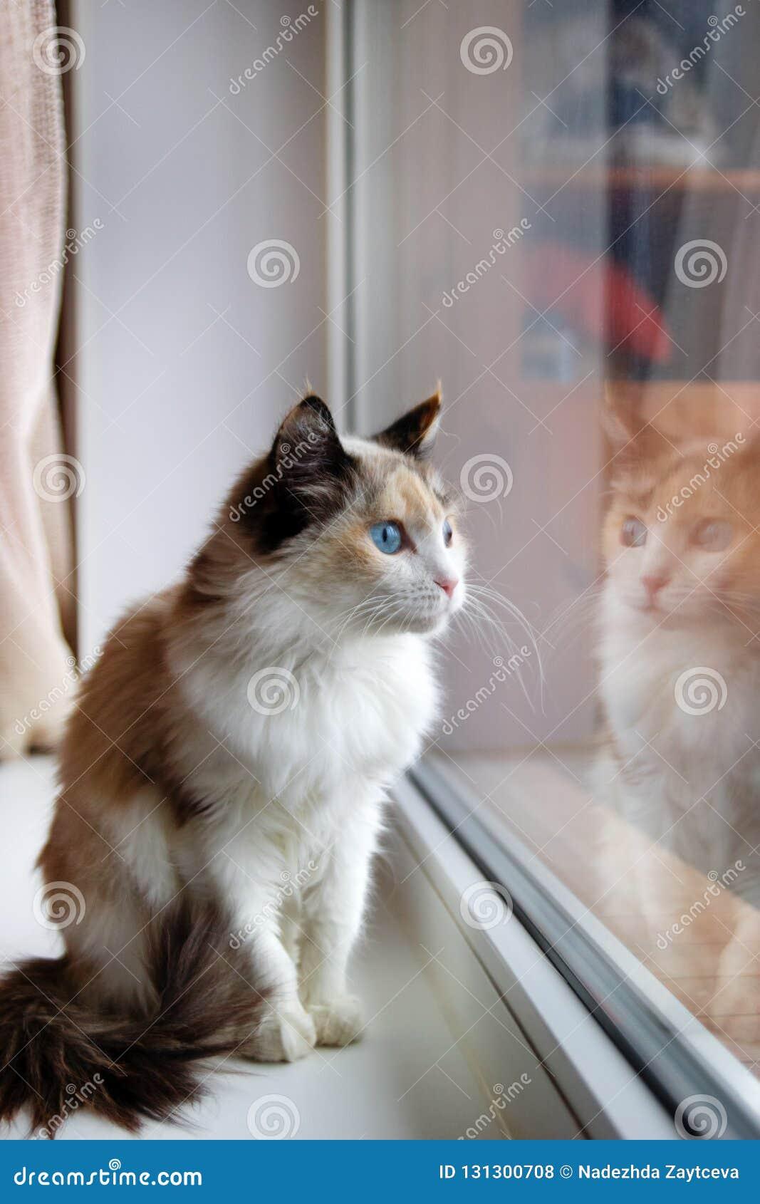 Portret uroczego tortoiseshell puszysty kot siedzi blisko okno z niebieskimi oczami