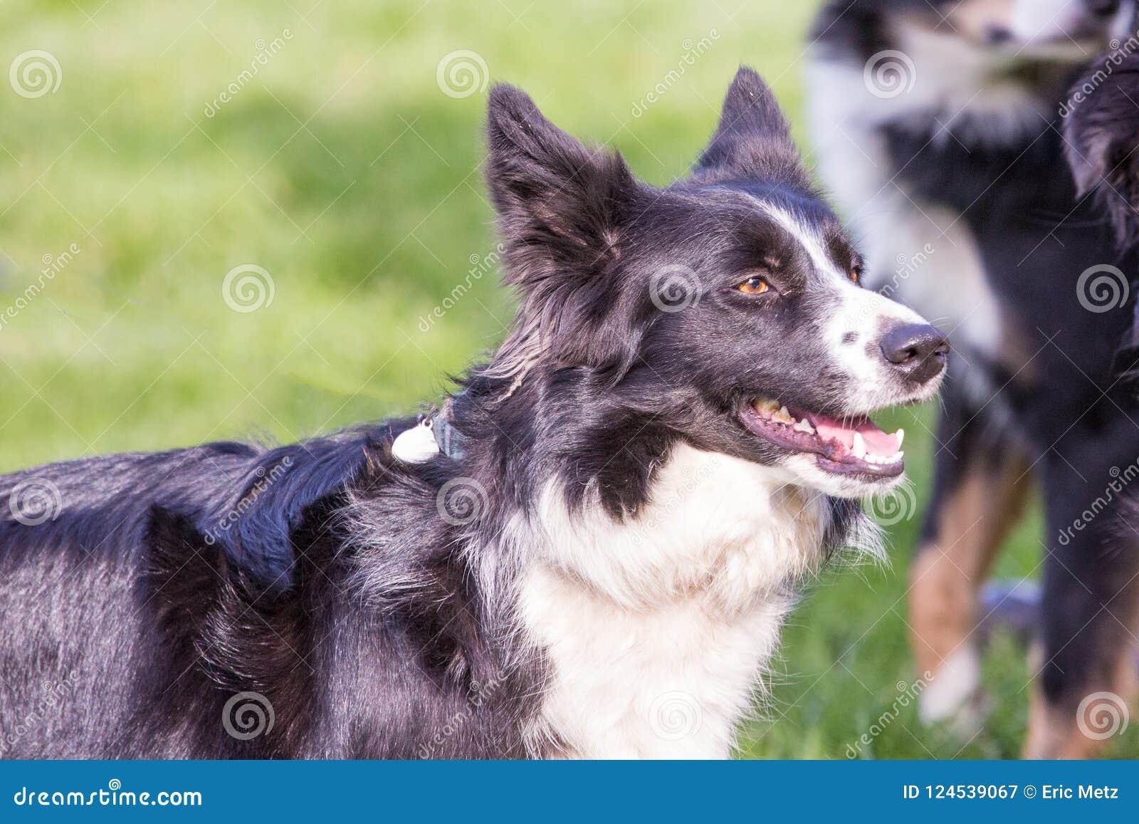 Portret van border collie-hond