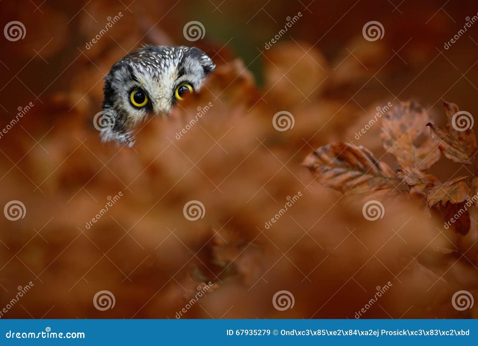 Portret van Boreale Uil met gele ogen in oranje eiken boom tijdens de herfst