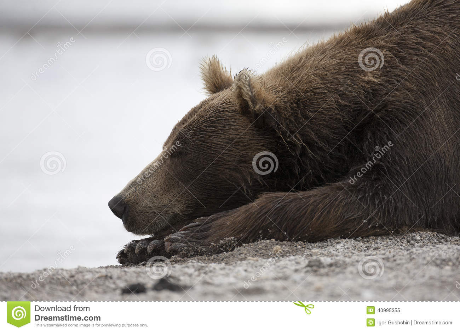 Portret van een bruine beerslaap op de kust van meer