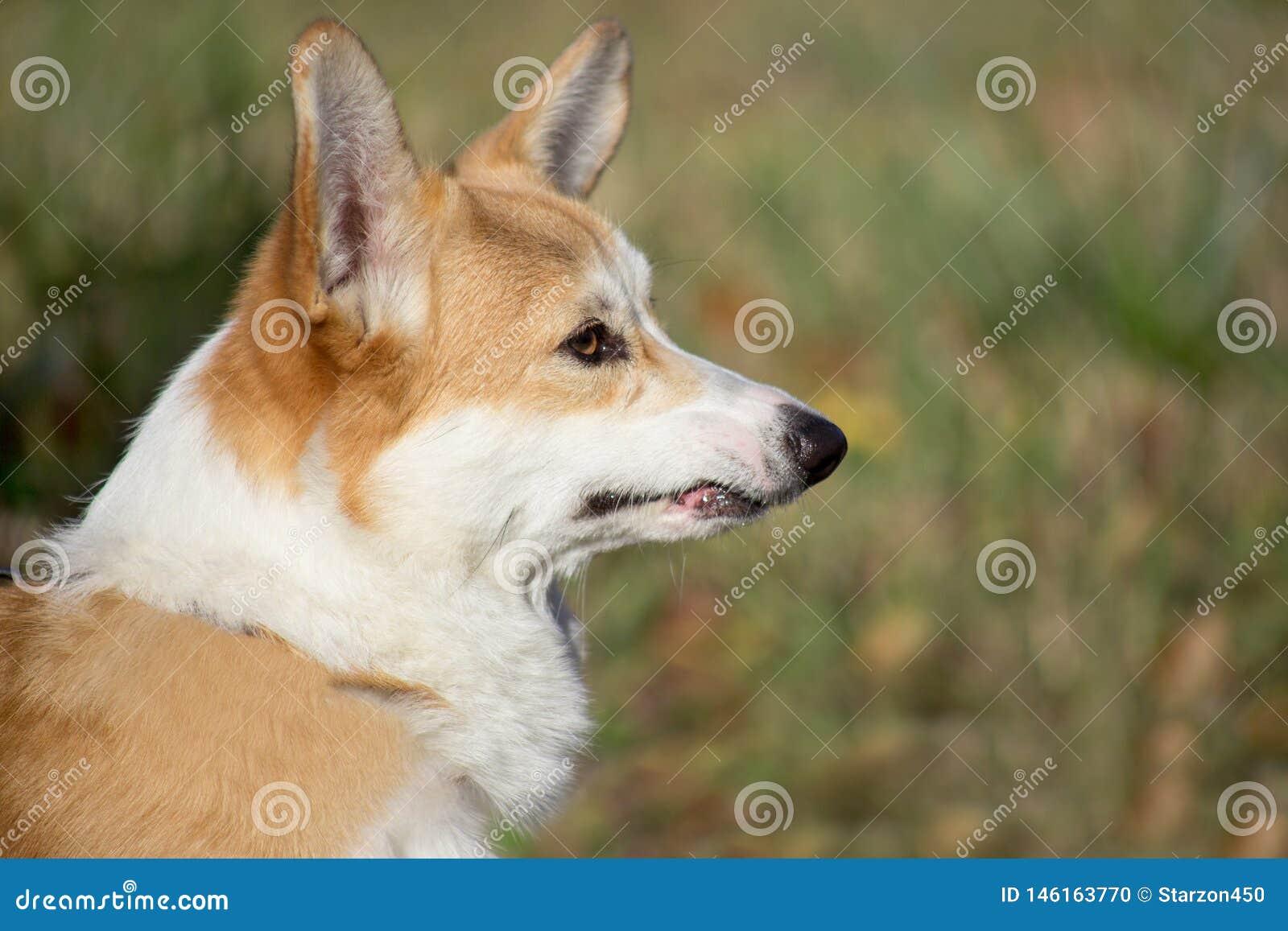 Portret van een droevig puppy van pembroke Wels corgi Sluit omhoog