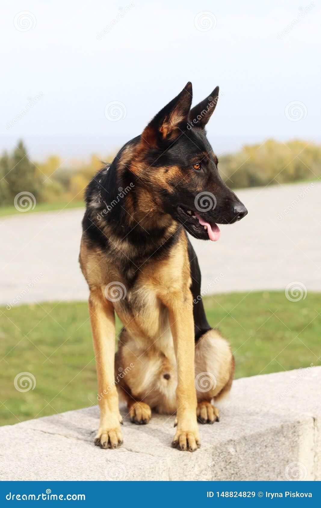 Portret van een Duitse herder