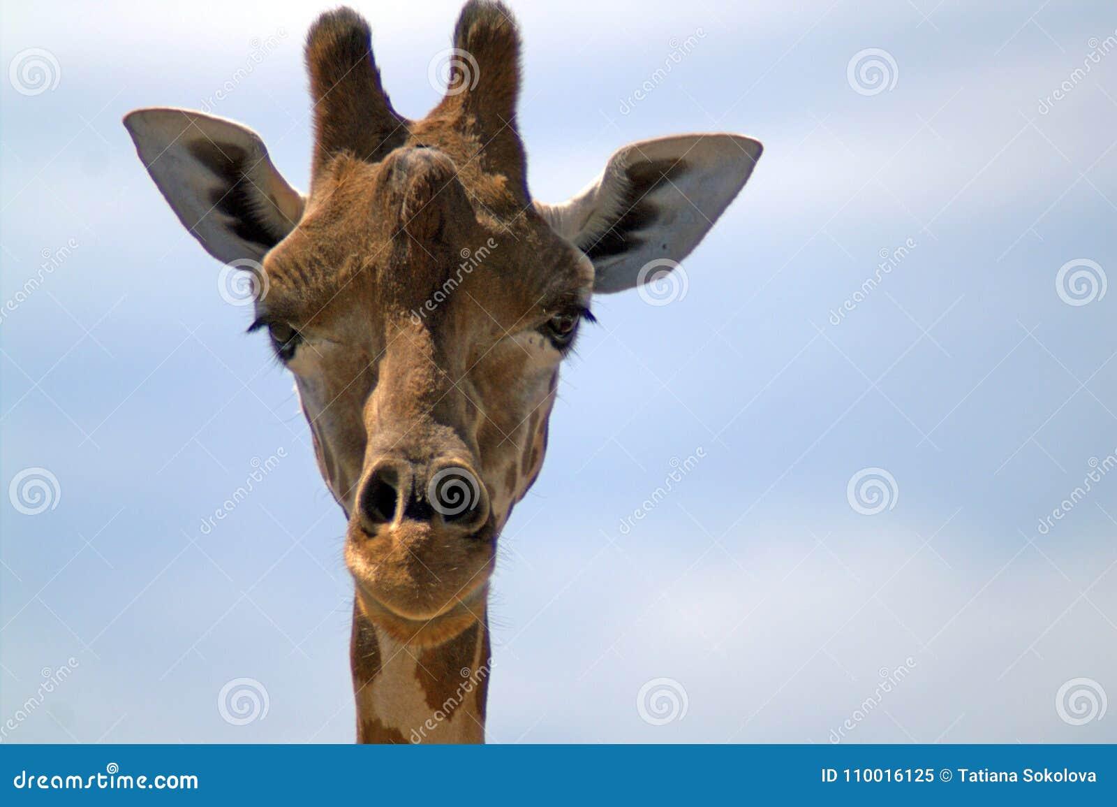 Portret van een giraf vooraan tegen de hemel