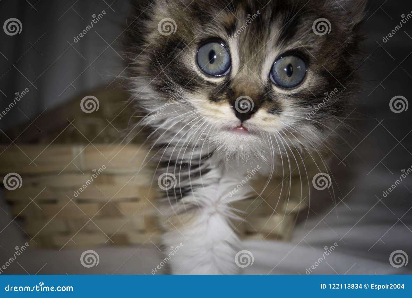 Portret van een grijs leuk katje met reusachtige blauwe ogen
